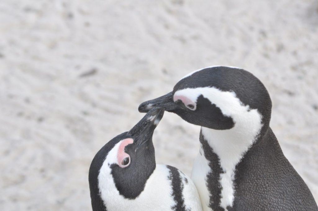 Un bisou de pingouins