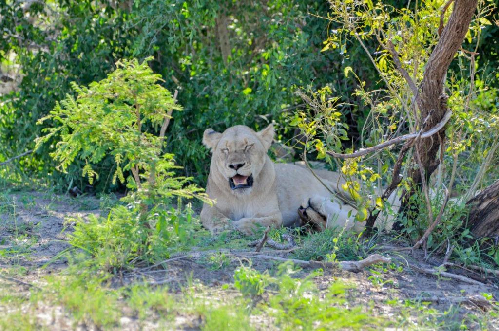 Une lionne au Kruger Parc