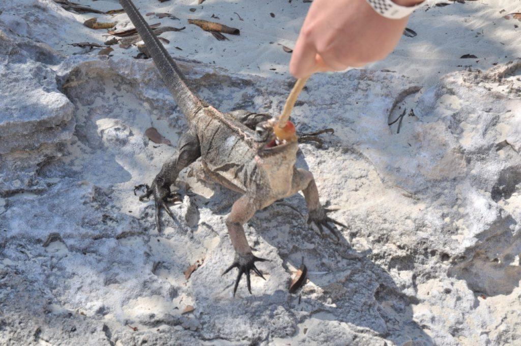 Donner à manger aux iguanes