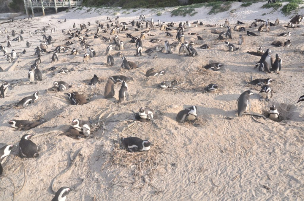 La population des pingouins est colossale sur cette plage