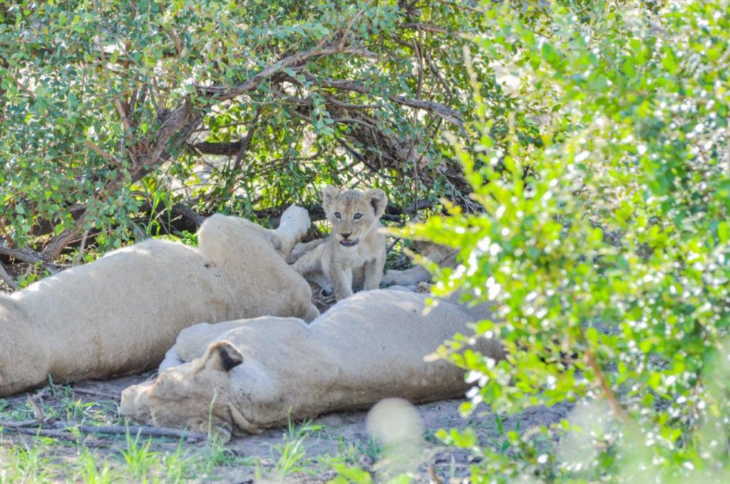 Un lionceau au Kruger Parc