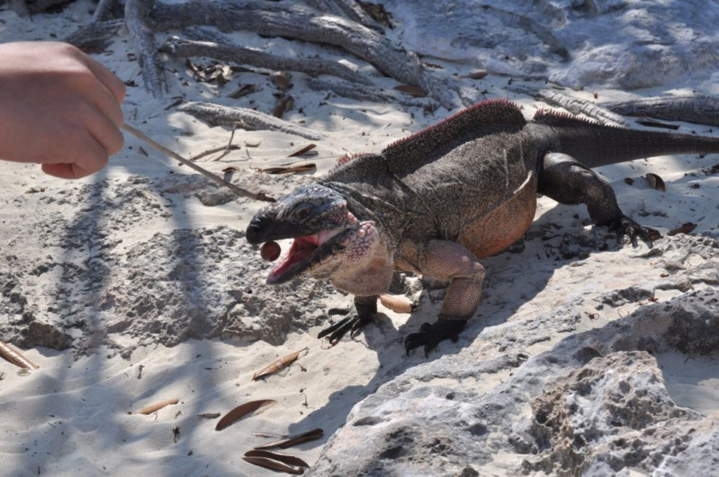 Les iguanes mangent