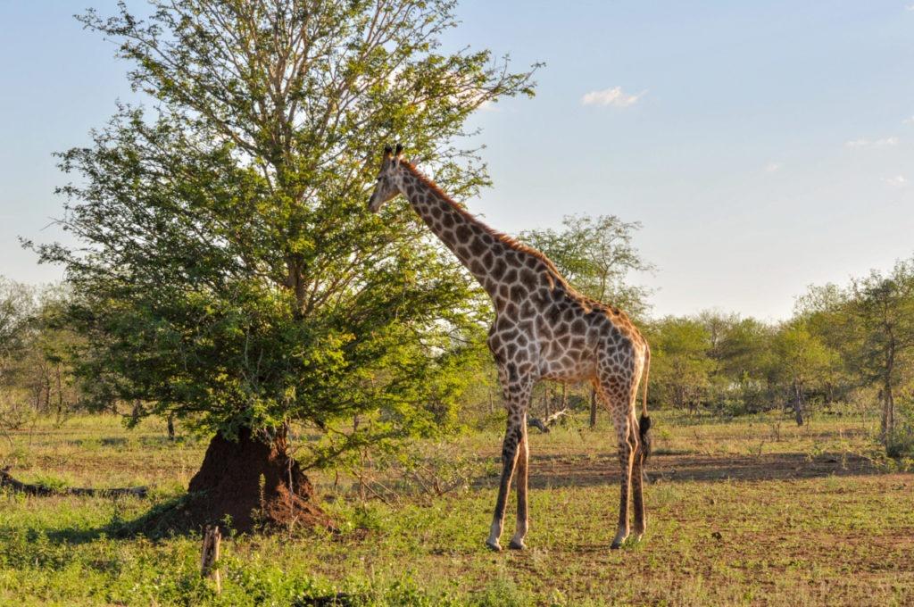 Une girafe au Kruger