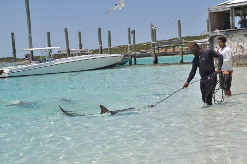 Donner à manger aux requins