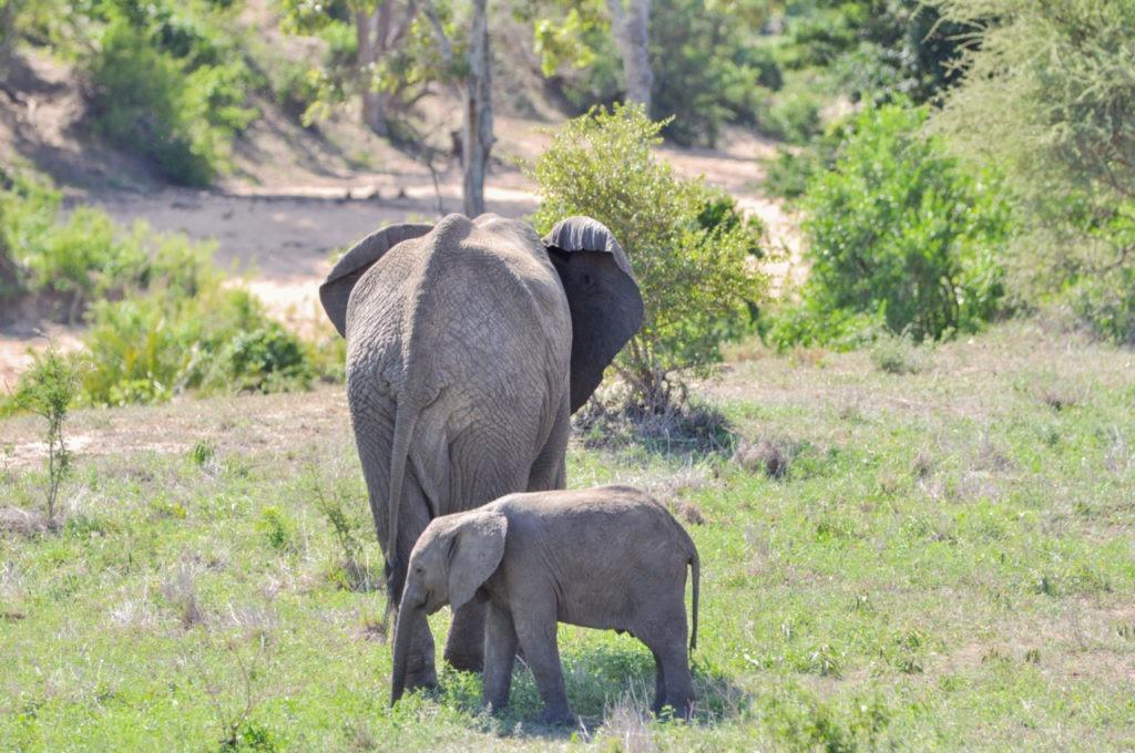 Un bébé éléphant avec sa mère