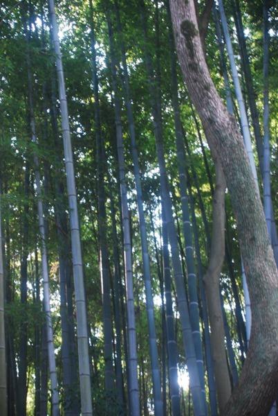Les bambous d'Arashiyama