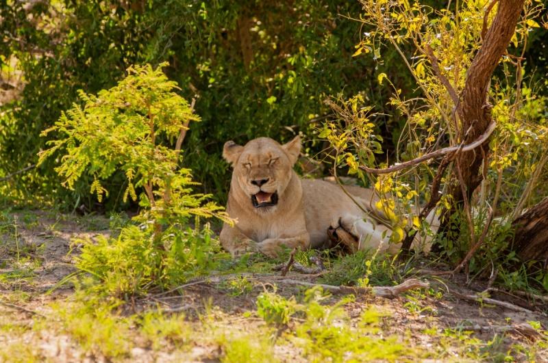 Une meute de lions - Parc Kruger - Afrique du Sud