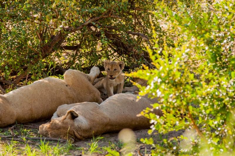 lionceaux - Parc Kruger - Afrique du Sud