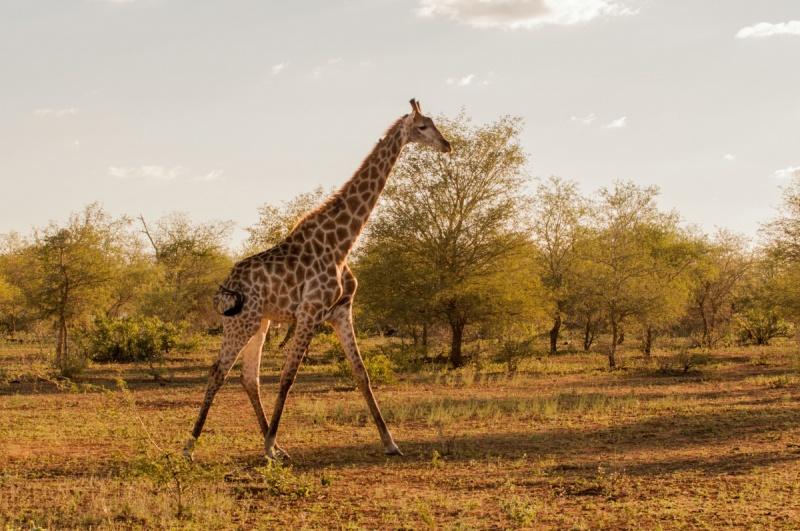 Une autre girafe - Parc Kruger - Afrique du Sud