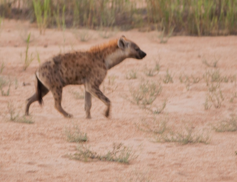Un hyène - Parc Kruger - Afrique du Sud
