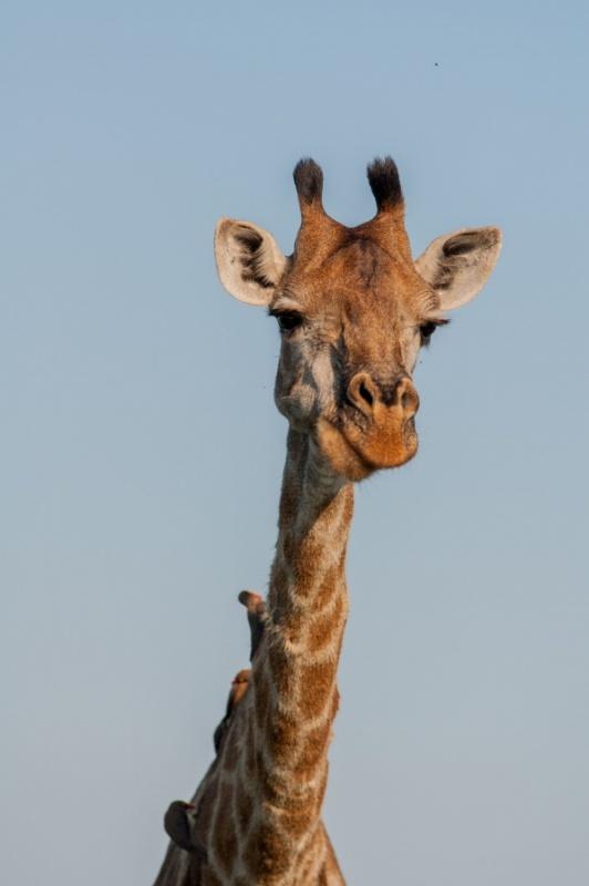 girafe - Parc Kruger - Afrique du Sud