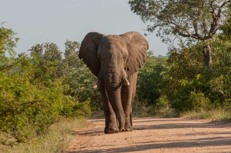 éléphant - Parc Kruger - Afrique du Sud