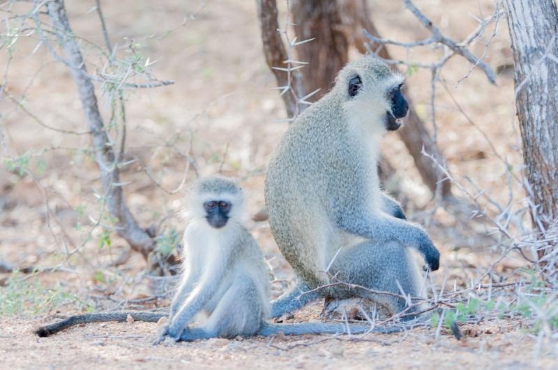 Des singes regroupées - Parc Kruger - Afrique du Sud