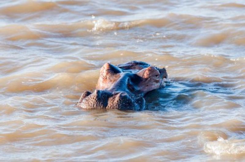 tête hippopotames - Ste Lucia - Afrique du Sud