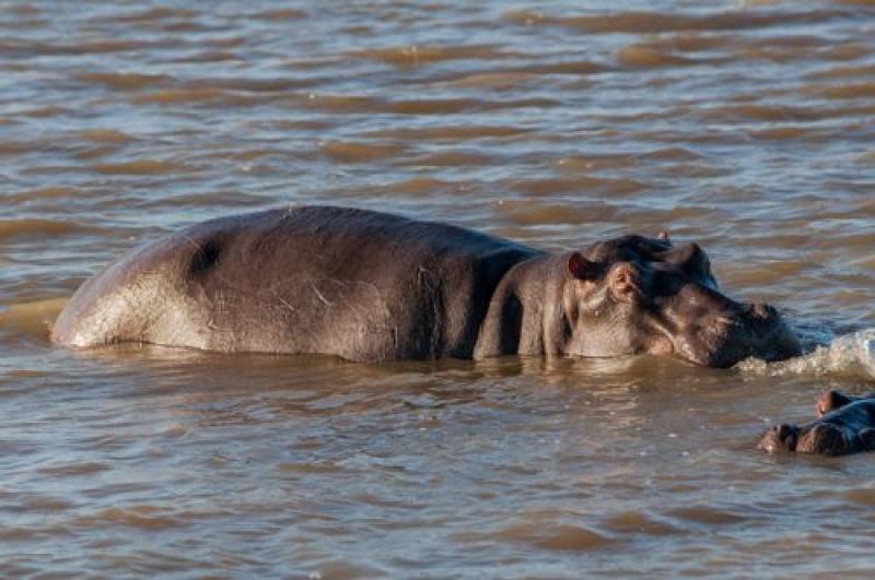 Dans les eaux, les hippopotames nagent à Ste lucia en Afrique du sud