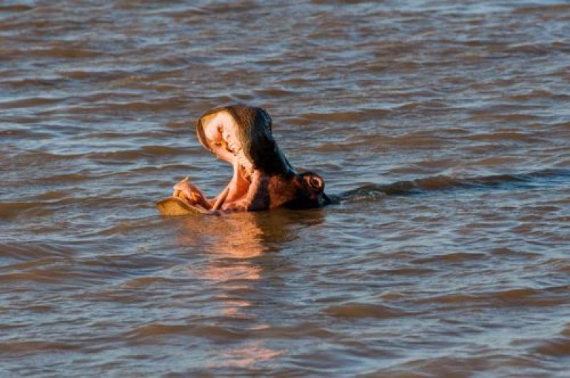 Les hippopotames sont en nombres à St Lucia en Afrique du Sud