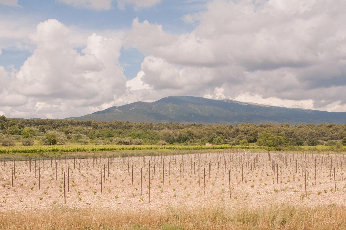 Les jeunes vignes en Vaucluse