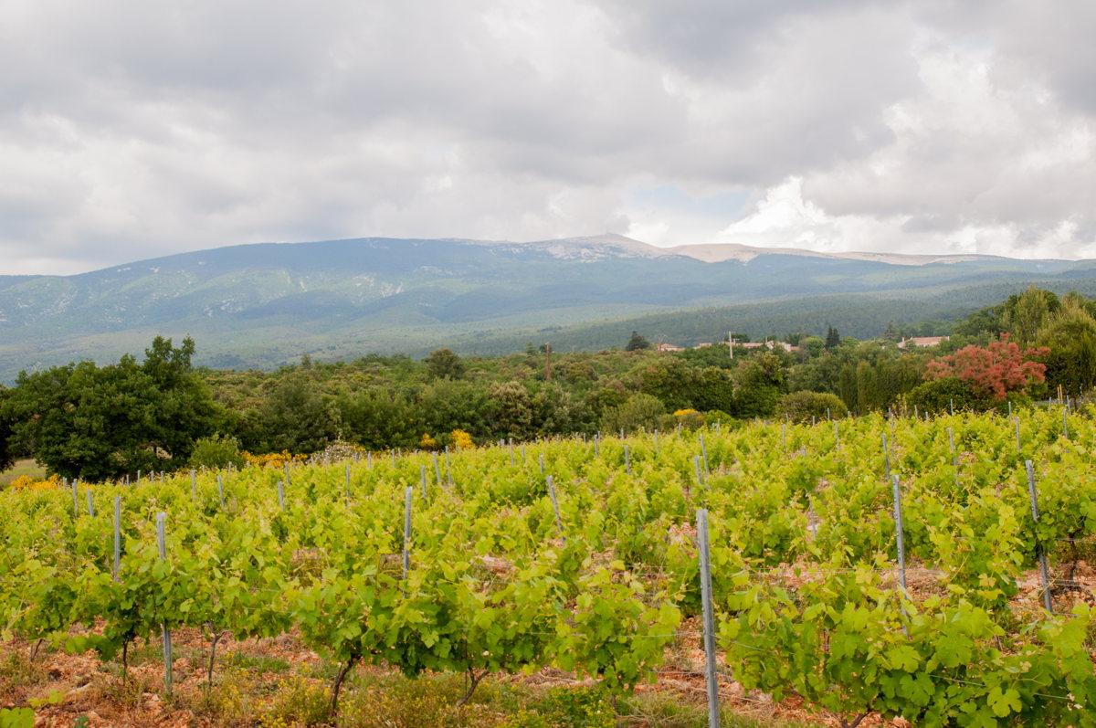 Les vignes du Château Pesquier en Vaucluse