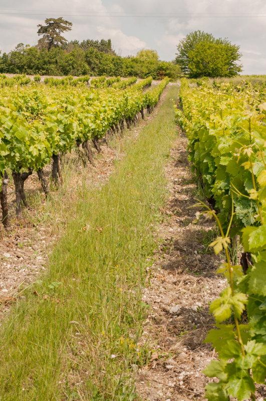 Au cœur des vignes du Château Pesquier en Vaucluse