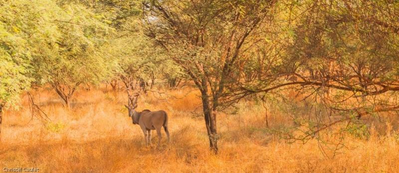 Une antilope dans la réserve de Bandia au Sénégal