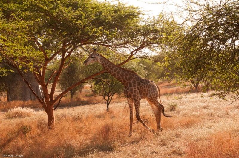Une giraffe qui se balade dans la réserve de Bandia au Sénégal