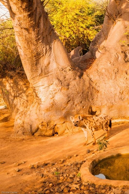 Un hyène dans la réserve de Bandia au Sénégal