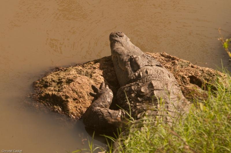 Un crocodile dans la réserve de Bandia au Sénégal