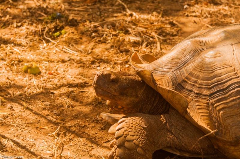 Une tortue dans la réserve de Bandia au Sénégal