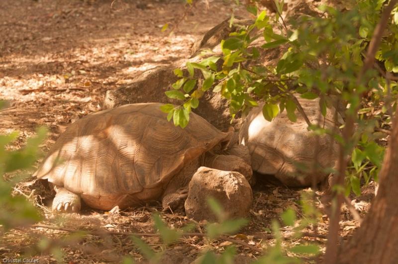 Deux tortues géantes dans la réserve de Bandia au Sénégal