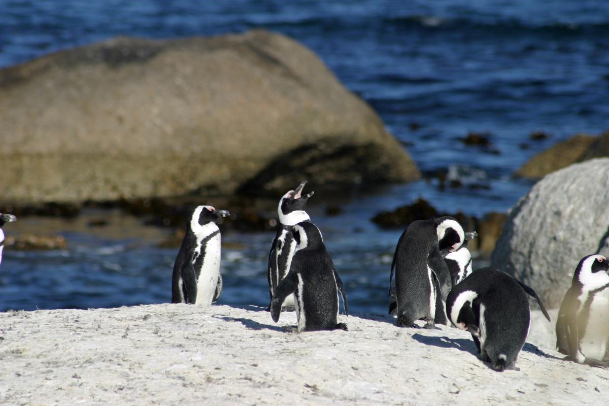 Pingouins - tour du monde - St Pierre et Miquelon
