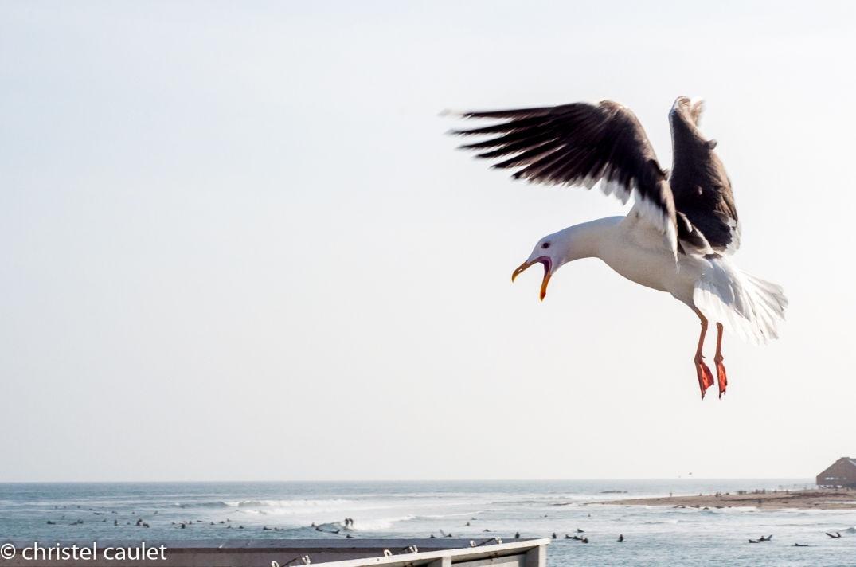 Roadtrip USA - L'océan avec une mouette à Malibu