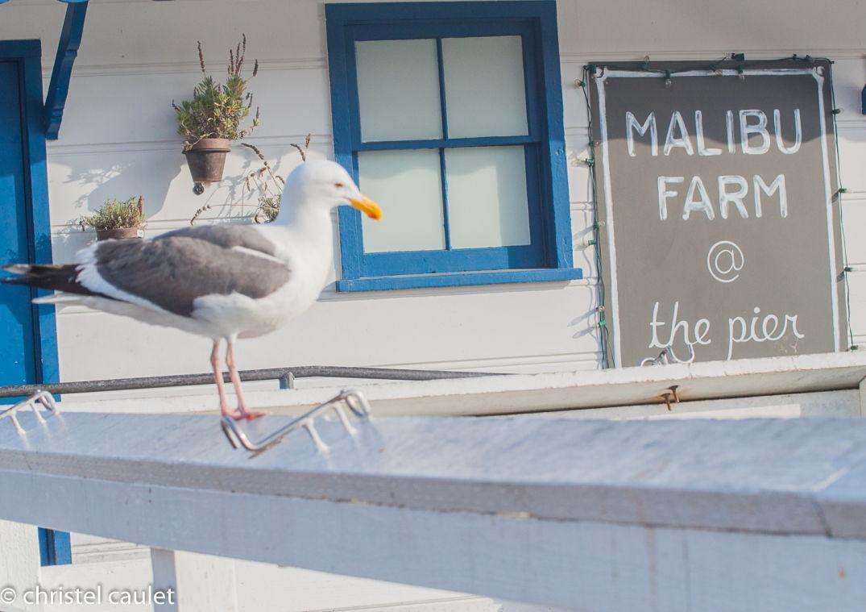 Roadtrip USA - mouette à côté du bar du pier à Malibu