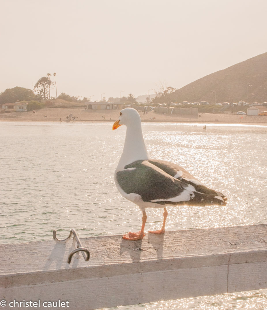Roadtrip USA - Une mouette à Malibu