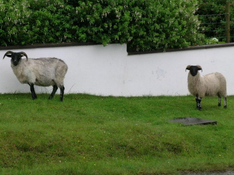 Les moutons sur les bords des routes nous regardent passer.