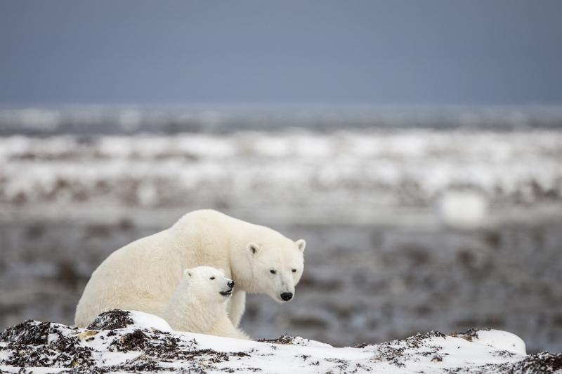 Les ours blancs en voie d'extinction