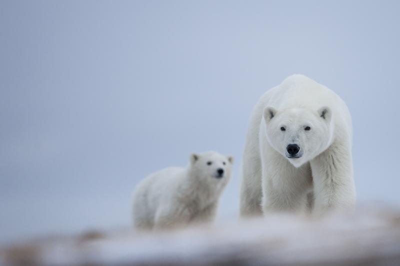 Espèces menacées - Polar bears 2 (Canada)