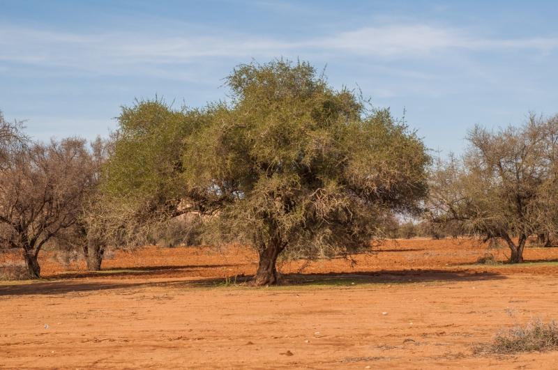 Dans les champs d'arganiers au Maroc