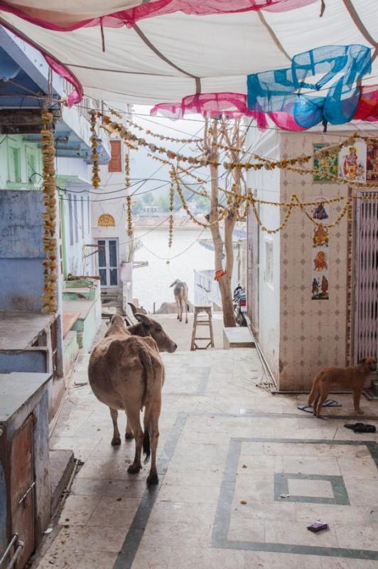 Les vaches en plein centre-ville
