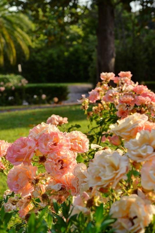 Les roses de la villa Cora à Florence