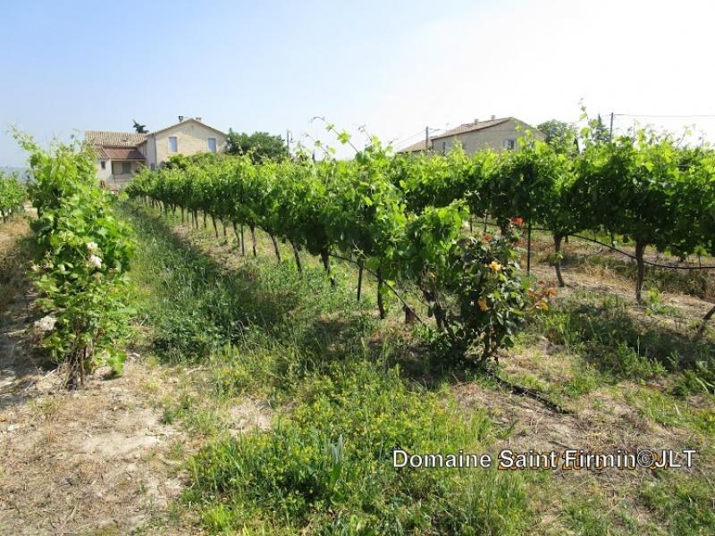 Sur les vignes du Domaine Saint Firmin